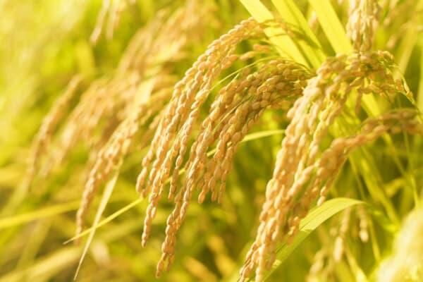 自然栽培米を使用